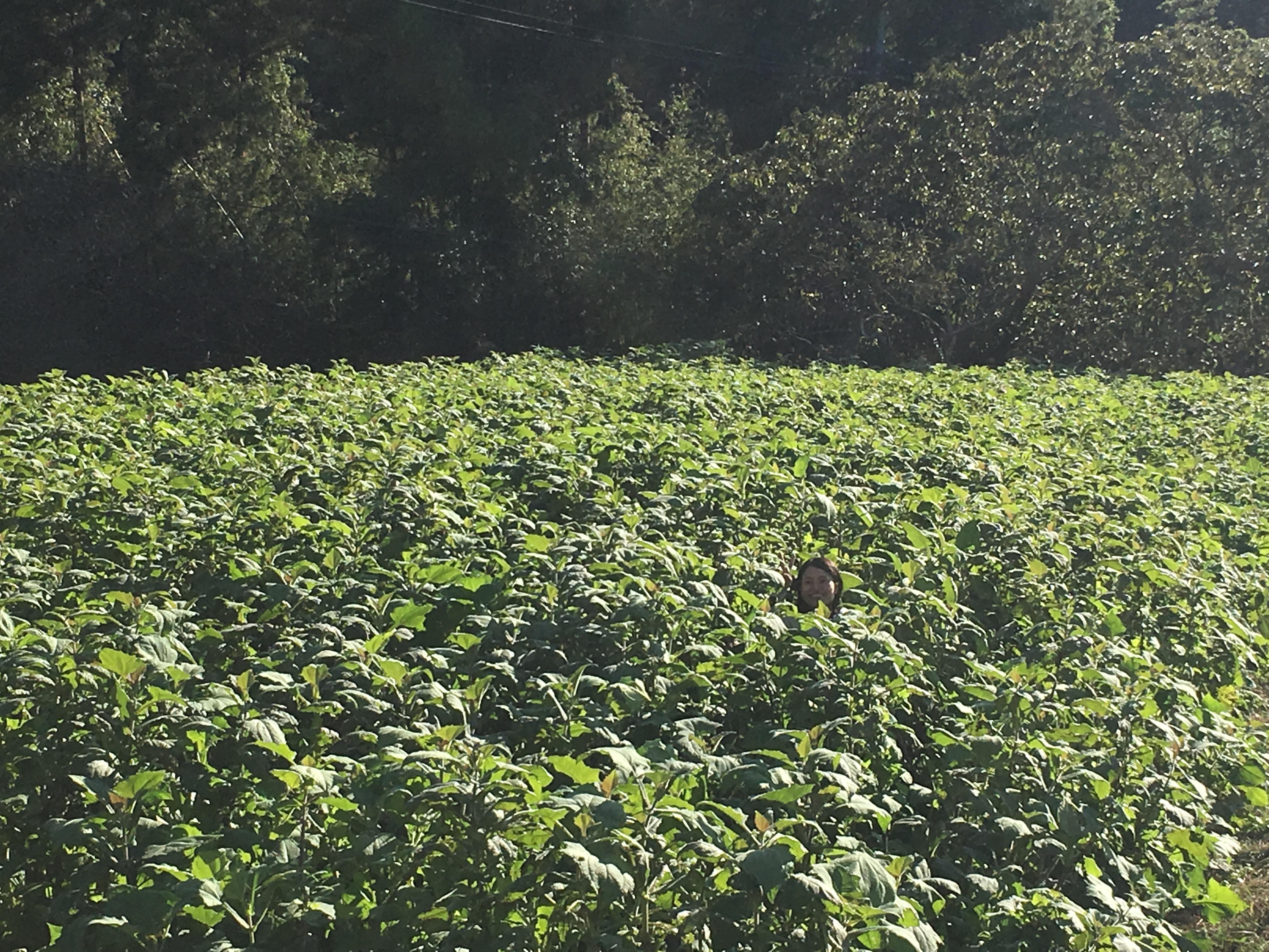 間もなくヤーコンの収穫です!