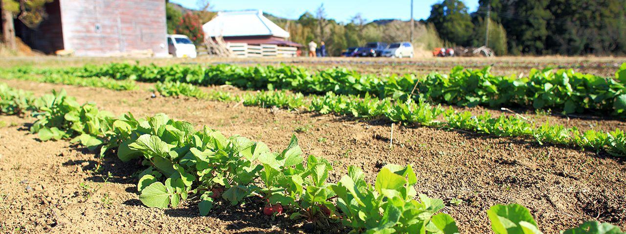 マリポ農園の無農薬・無化学肥料で育てた作物の畑