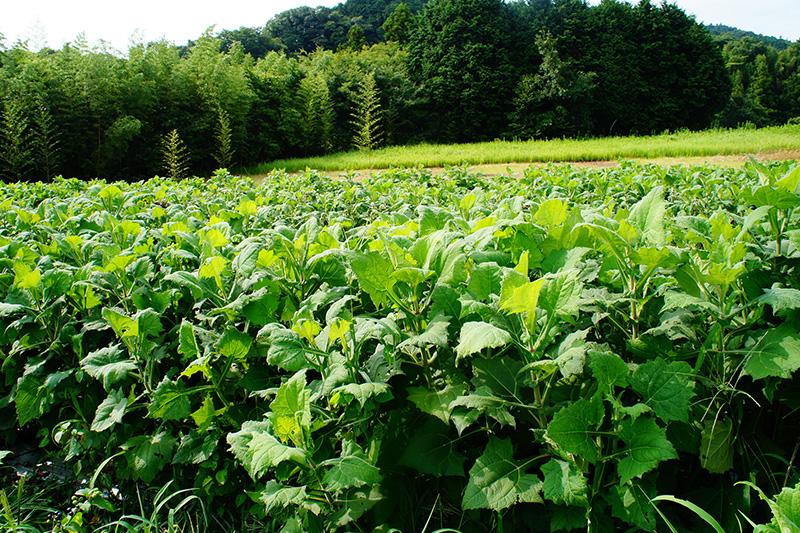 生い茂ったヤーコンの畑の写真