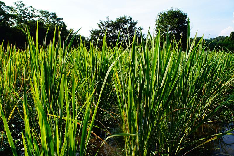 清々しく癒されるマコモの畑の写真
