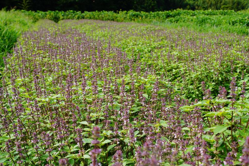 万能のハーブ、ホーリーバジル畑の写真