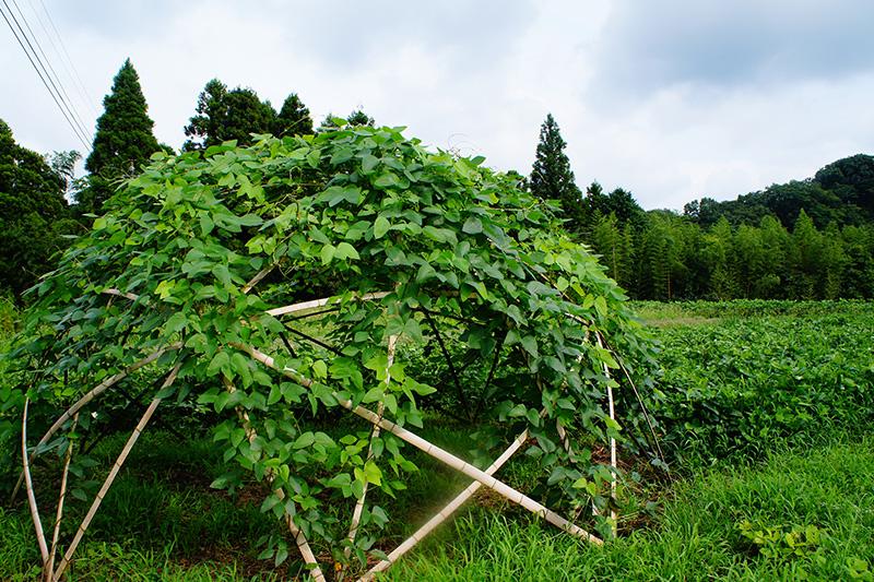 元気をもらえるムクナ豆の畑の写真